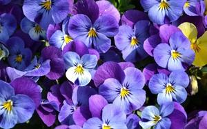Цветы анютины глазки фото