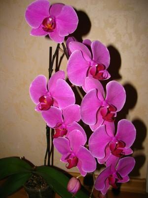 Цветок фаленопсис