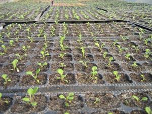 Выращивание петунии - какой должна быть почва