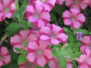 Садовая петуния в цвету украсит собой любую клумбу
