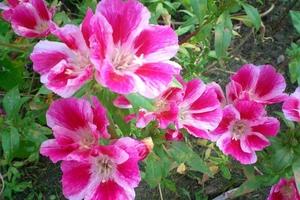 Годеция в цвету очень красива - крупные яркие цветы привлекают внимание.