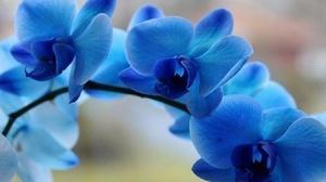 Синие и голубые орхидеи