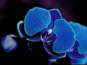 Голубая орхидея в домашних условиях