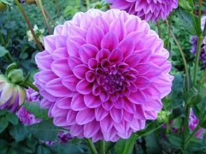 Многолетние садовые цветы с названиями и картинками