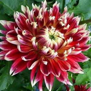 Цветок георгина фото и описание
