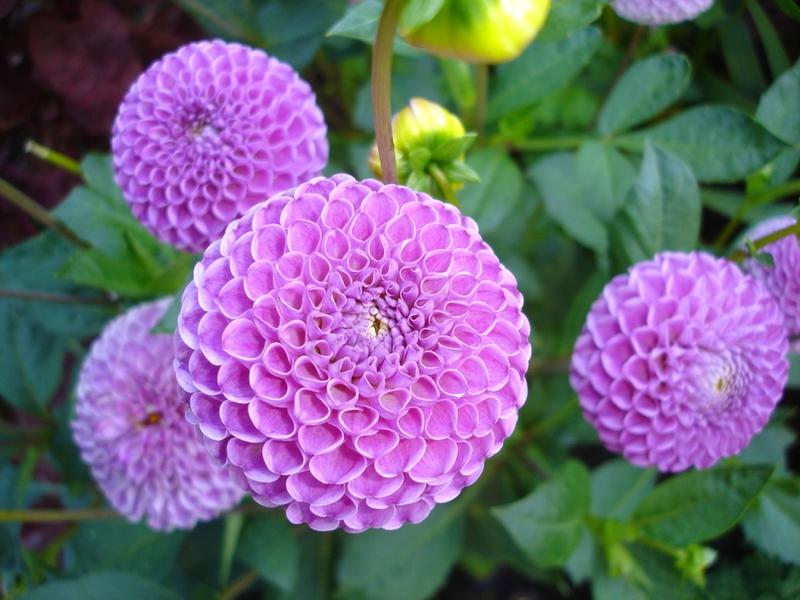 Все сорта садовых цветов в фото
