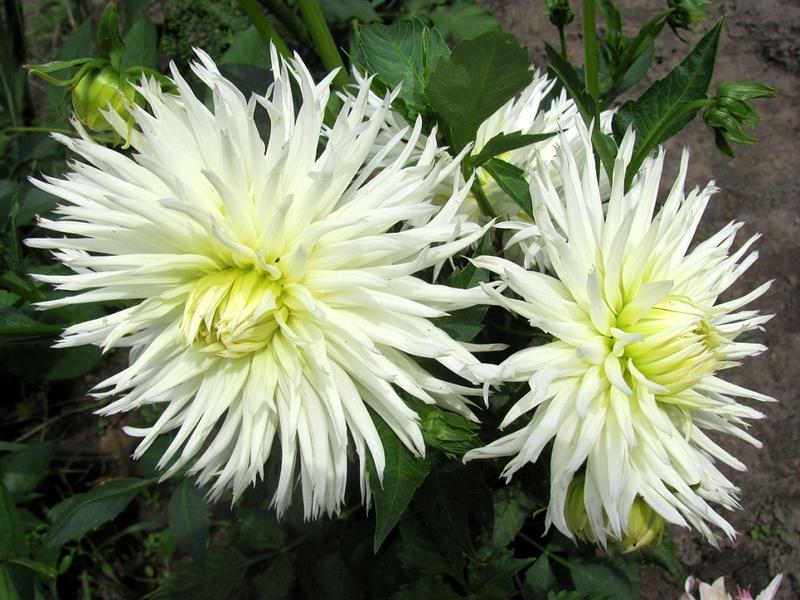 Многолетние садовые цветы картинки и название 9