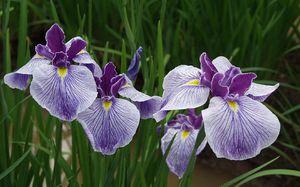 Покажи цветы ирисы фото