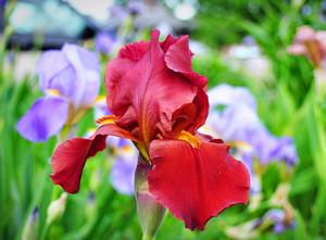 Цветы ирисы фото