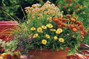 Как вырастить цветок гелихризум