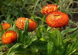 Гелихризум выращивание и уход