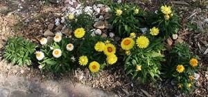 Гелихризум большой цветок
