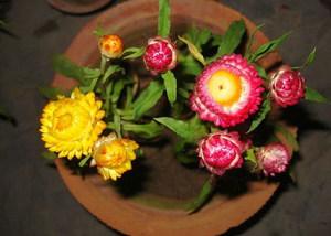Как используется цветок гелихризум