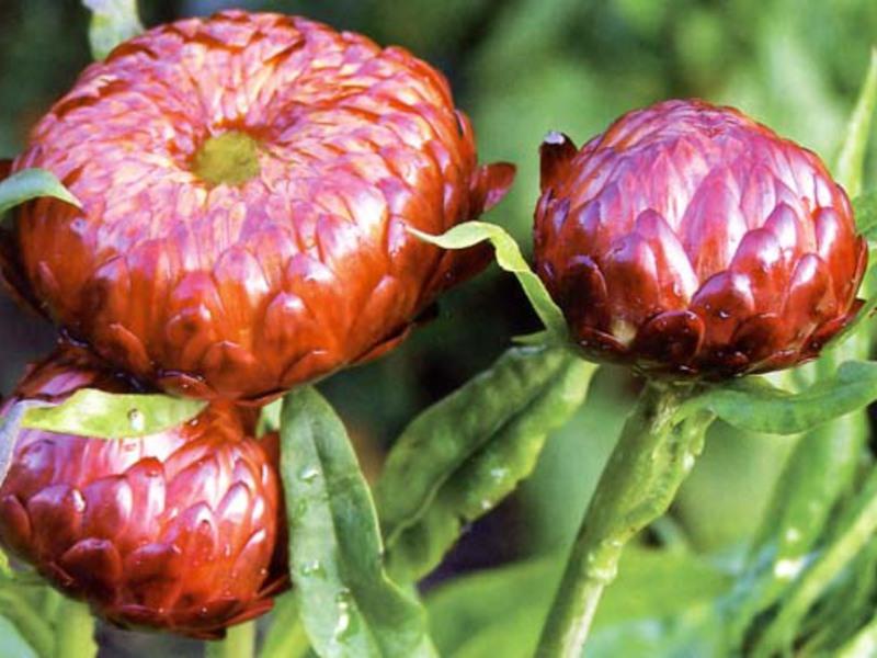 Выращивание цветка гелихризума