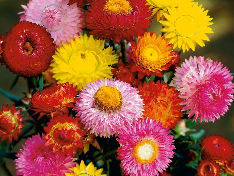 Бессмертник садовый цветок