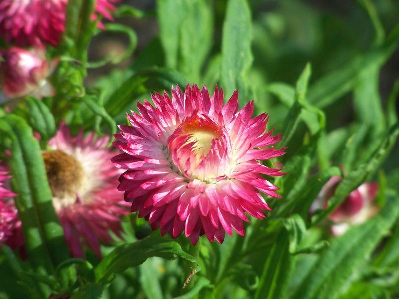 Описание цветка гелихризум