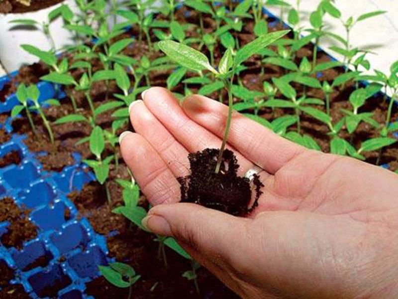 Как ухаживать за цветком гелихризум