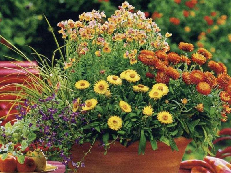 Уход и полив цветка гелихризум