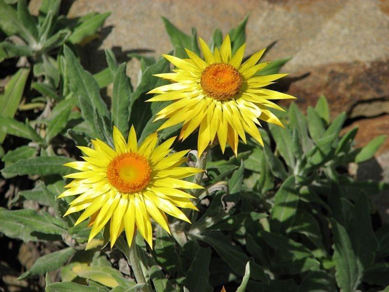 Разновидности сорта цветка гелихризум