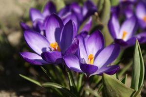 Как ухаживать за крокусом особенности выращивания в домашних условиях, уход за цветком в горшке