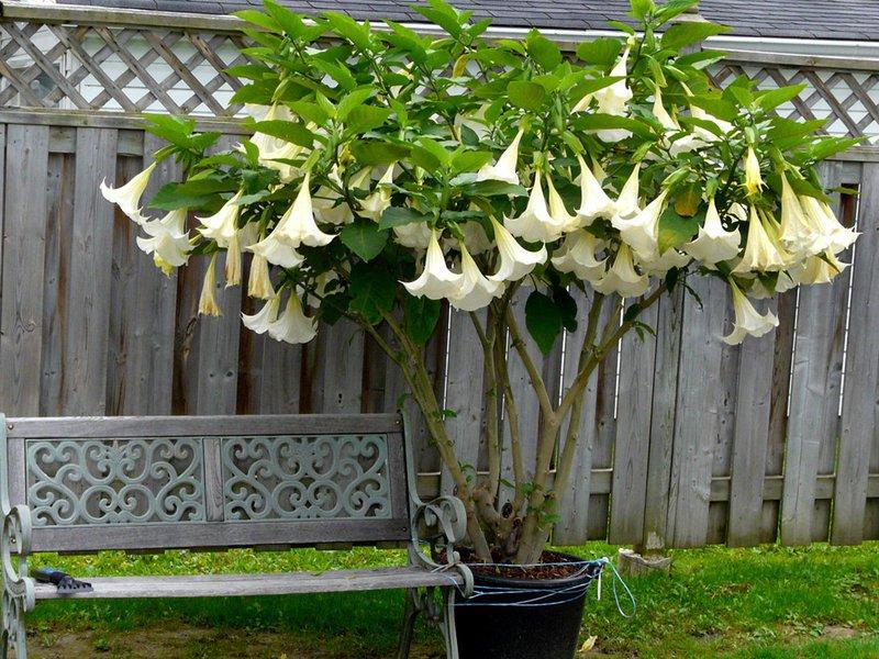 Симпатичный цветок с загадочными свойствами дурман