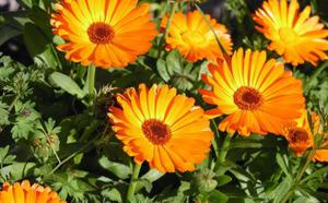 Ноготки картинки цветы