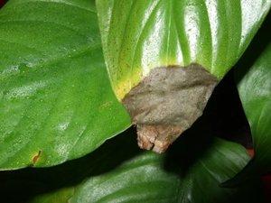Почему у спатифиллума сохнут кончики листьев