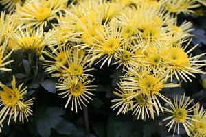 Желтая хризантема - осенние цветы