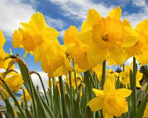 Нарциссы - очень красивые цветы