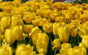 Жёлтые тюльпаны очень красивы, но не слишком популярны в нашей стране из-за суеверий.