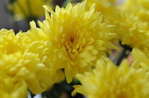 Желтые астры осенью расцветают на клумбах в садах
