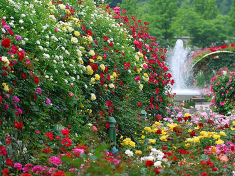 Какие сорта роз подойдут для розария