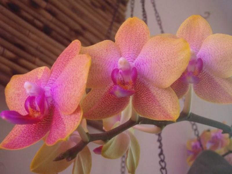 Орхидеи сорта и виды и уход
