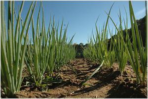 Выращивание лука из семян