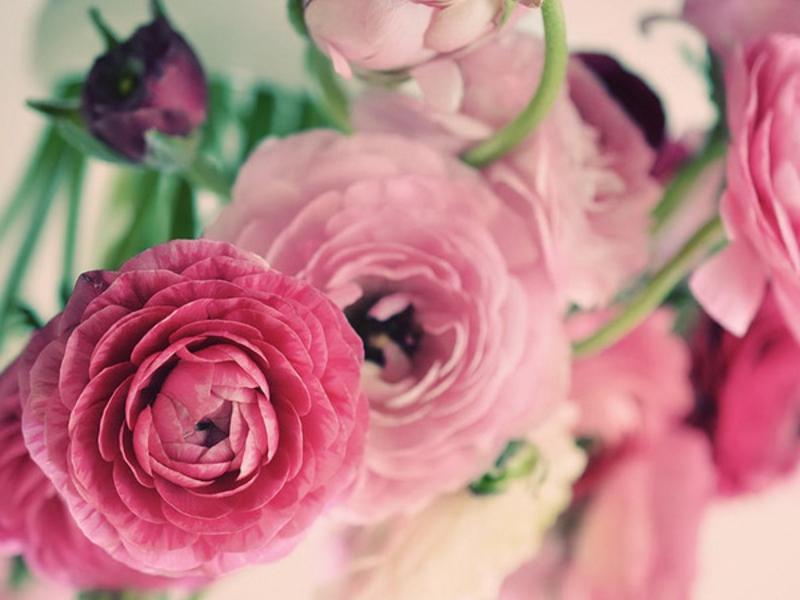 Ранункулюс фото цветов