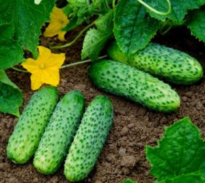 Как выбрать партенокарпические сорта и гибриды для хорошего выращивания огурцов в открытом грунте