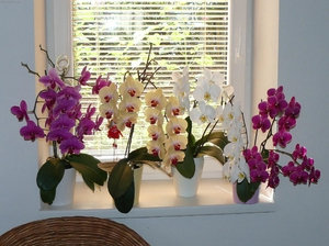 Инструкции для выращивания орхидей Фаленопсис в домашних условиях