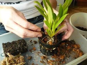 Рекомендации цветоводов для правильной подкормки Фаленопсиса