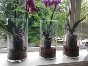Особенности ухода за орхидеей Фаленопсис после пересадки