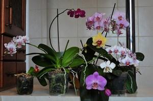 Описание особенностей цветения Фаленопсиса и ухода за ним