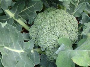 Как вырастить капусту брокколи сорта, посадка и уход, фото