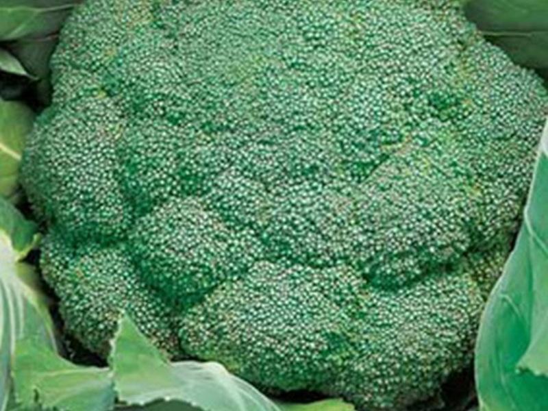 Какой сорт цветной капусты лучше сажать в подмосковье в открытый грунт 11