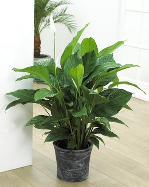 зеленые комнатные цветы названия и фото
