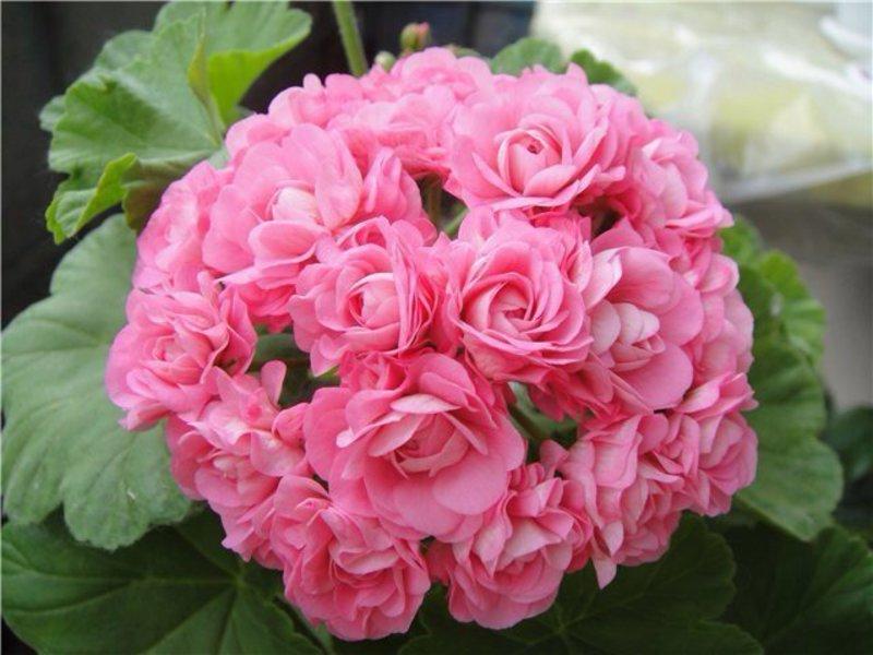 Цветок для дома