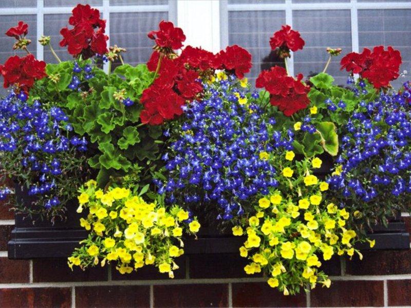 Сорт цветов для балкона
