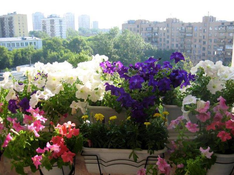 Цветы и кустарники для балконов