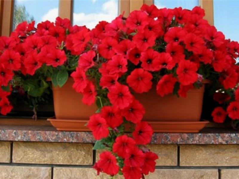 Цветы и растения для балконов