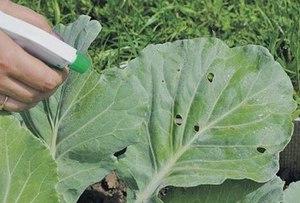 Как вырастить белокочанную капусту в открытом грунте схема посадки, нюансы выращивания и правильный