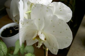 Пятна на цветах орхидеи лечение 23