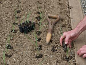 Особенность выращивания лука шалот